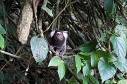 Marmoset Monkey, Morro da Urca, Rio De Janiero, Brazil